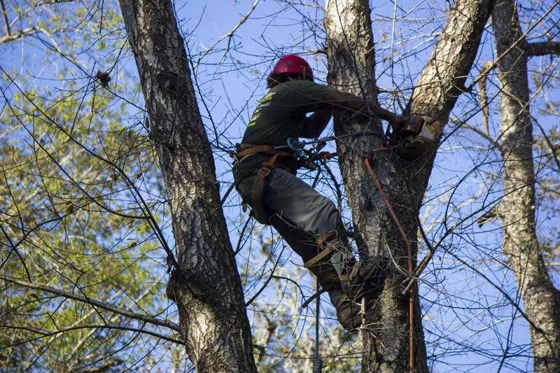 man in tree pruning